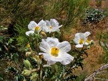 Witte Stekelige Poppy Flowers in Woestijn van Arizona royalty-vrije stock foto's