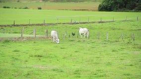 Witte Stieren bij het gebied stock footage