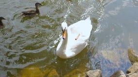 Witte Stodde Zwaan die in het Meer zwemmen stock video