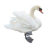 Witte stodde zwaan (olor Cygnus) Royalty-vrije Stock Foto's