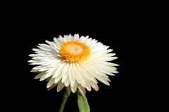 Witte strawflower Stock Foto's