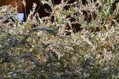 Witte struiken Royalty-vrije Stock Foto's