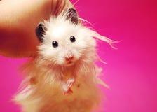 Witte Syrische hamster. Stock Afbeeldingen