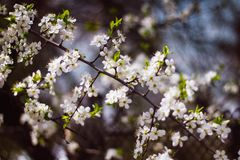 Witte tak van een bloeiende Apple-boom op een donkere achtergrond De appel bloeit close-up De kers komt op een zwarte achtergrond royalty-vrije stock fotografie