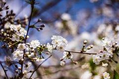 Witte tak van een bloeiende Apple-boom tegen de blauwe hemel Gevoelige Apple-bloesems Bloeiende tuinbomen stock foto