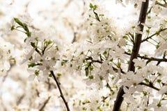 Witte takken van bloeiende witte kers royalty-vrije stock afbeelding