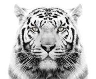 Witte tijger