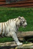 Witte tijger Royalty-vrije Stock Afbeelding