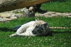 Witte tijger Royalty-vrije Stock Foto
