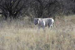 Witte tijger royalty-vrije stock foto's