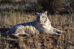 Witte tijger stock afbeelding