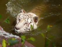 Witte tijger Stock Fotografie