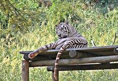 Witte tijger Stock Afbeeldingen