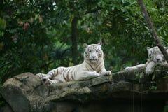 Witte tijger Royalty-vrije Stock Fotografie