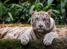 Witte tijger in de dierentuin royalty-vrije stock fotografie