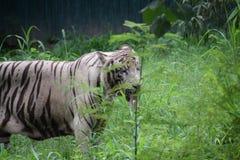 Witte tijger die groene bladeren lekt Stock Foto's