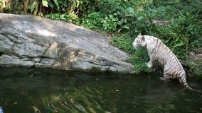Witte tijger na het spelen in de rivier stock videobeelden