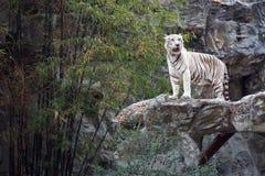Witte tijger op de rots Stock Afbeelding