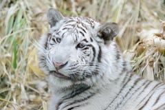 Witte tijgerglimlachen stock foto's