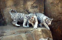 Witte tijgers Royalty-vrije Stock Afbeeldingen