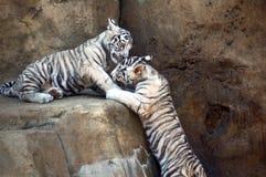 Witte tijgers stock foto's
