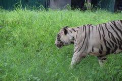Witte tijgerschoonheid Stock Foto