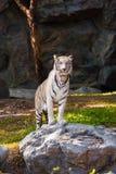 Witte tijgertribune op de rots royalty-vrije stock foto