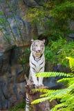 Witte tijgertribune op de stomp royalty-vrije stock foto's