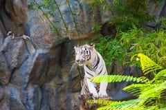 Witte tijgertribune op de stomp stock afbeeldingen