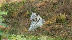 Witte tijgerzitting op gras-India Royalty-vrije Stock Afbeeldingen