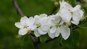Witte tot bloei komende bloemen op de tak die van de appelboom in de wind blazen stock videobeelden