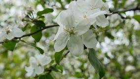 Witte tot bloei komende bloemen op de tak die van de appelboom in de wind blazen stock video