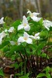 Witte Trillium stock foto's