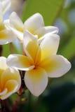 Witte tropische bloemen (plumeria) Royalty-vrije Stock Afbeeldingen