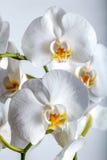 Witte tropische de bloeminstallatie van de de lenteorchidee Royalty-vrije Stock Afbeeldingen