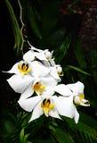 Witte tropische orchideeën Royalty-vrije Stock Afbeeldingen