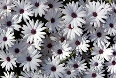 Witte tuinchrysanten Royalty-vrije Stock Afbeeldingen