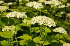 Witte tuinhortensia Stock Foto