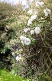 Witte tuinrozen Royalty-vrije Stock Foto's