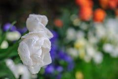 Witte tulp Stock Afbeelding