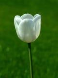 Witte tulp royalty-vrije stock afbeelding