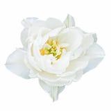 Witte tulp Royalty-vrije Stock Foto