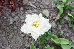 Witte tulp Stock Fotografie