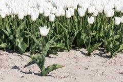 Witte tulp die zich vóór een gebied met witte tulpen bevinden stock afbeeldingen