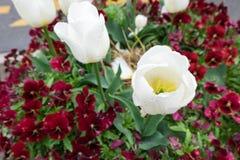 Witte tulp en van Bourgondië viooltjebloemen Royalty-vrije Stock Foto