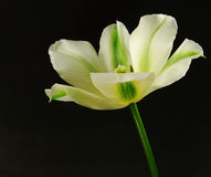 Witte tulp met groene lijnen Royalty-vrije Stock Foto's