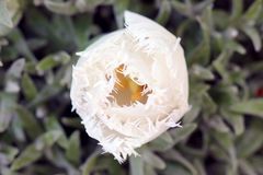 Witte tulp op een mooie groene achtergrond stock afbeelding