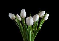 Witte tulp op zwarte achtergrond Royalty-vrije Stock Fotografie