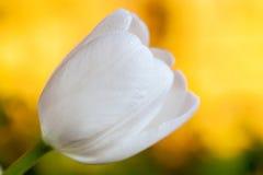 Witte tulp over gele dichte omhooggaand als achtergrond Royalty-vrije Stock Afbeeldingen
