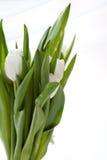 Witte tulpen Stock Afbeeldingen